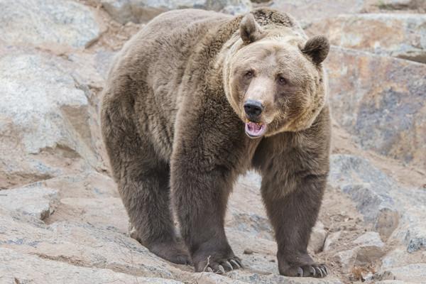 早安俄羅斯! 棕熊一家三口大清早在街上趴趴走!