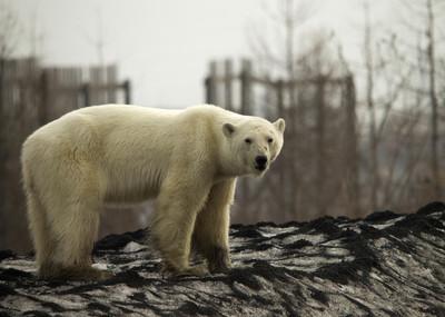 男非法獵殺北極熊 最高可罰310萬