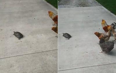 烏龜領「羽毛軍隊」壓馬路:快跟上