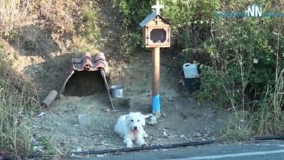 主人最後的味道...小白狗走到主人車禍喪命地 等待18個月不願離開