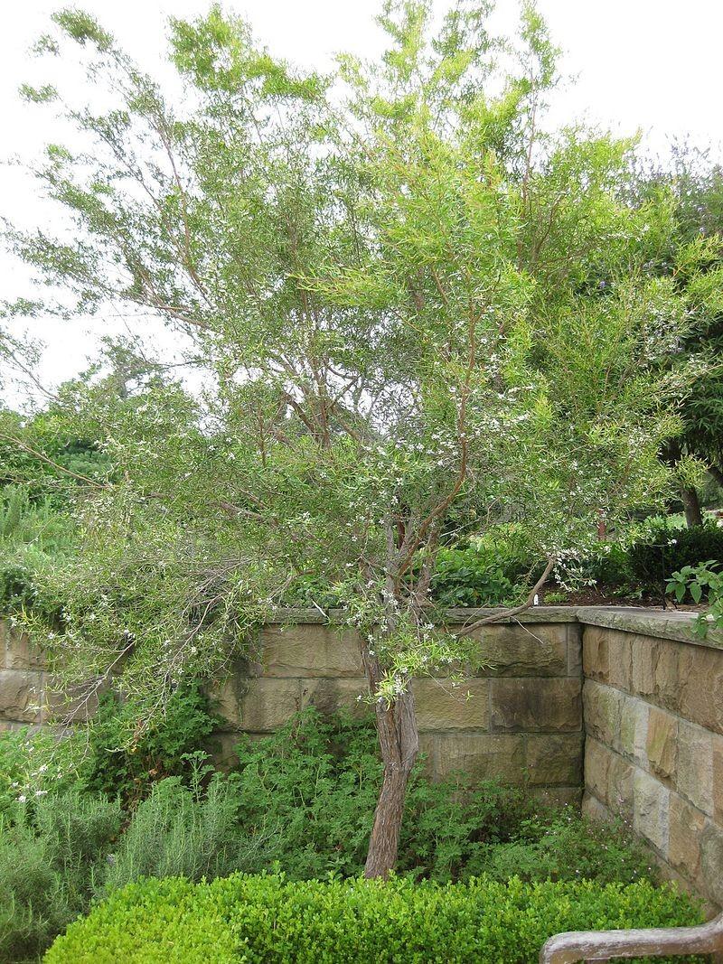▲▼檸檬茶樹。(圖/翻攝自維基百科)
