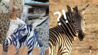 斑馬熱到「妝糊掉」 近距離一看驚呼:素顏是隻驢!