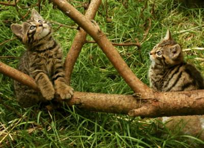 全球剩400隻 蘇格蘭野貓2022年首度野放
