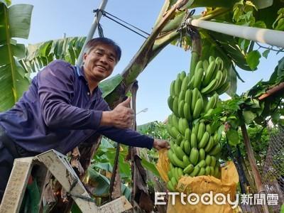 液肥施用光合菌種香蕉香甜好吃