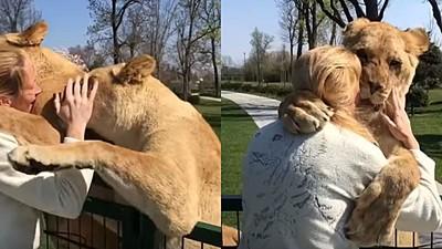 獅子王不是演假的!2隻馬戲團棄獅獲救援 見恩人飛撲狂蹭:謝謝尼❤