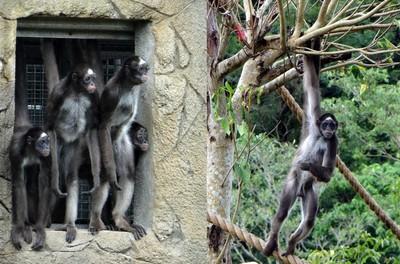 棕蜘蛛猴「屁孩行為」讓鄰居超無奈