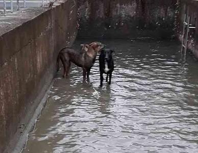 民眾搶救掉落圳溝的6隻狗狗脫困