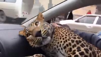 司機接預約要載大貓 本尊是頭豹