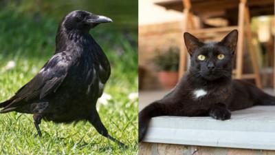 看到「黑黑的」就餵了?烏鴉媽媽捍衛小黑貓 叼蠕蟲餵食嚇傻眾人