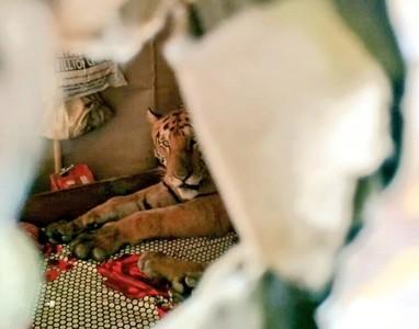 印度淹水 竟有老虎躺在床上睡覺