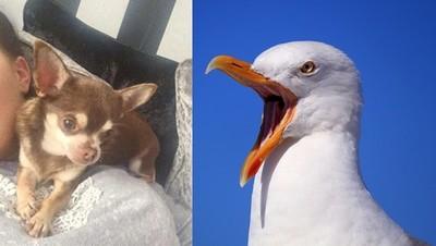 海鷗俯衝花園 叼走吉娃娃當晚餐