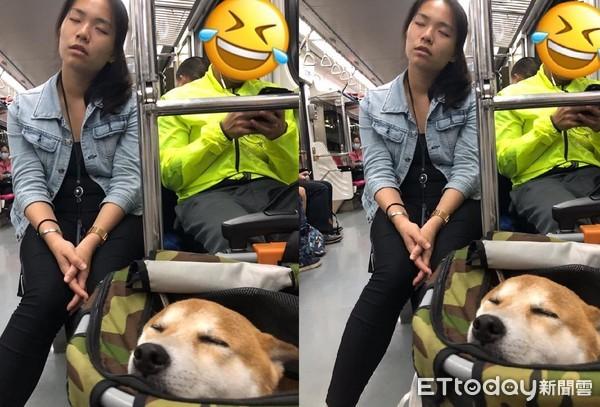 柴柴一張睡照秒認證「她是親媽」 網友笑翻:有其主必有其狗