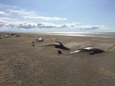 冰島50鯨魚擱淺腐爛 心碎畫面曝光