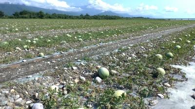 丹娜絲颱風沒來...農損達742萬西瓜最慘