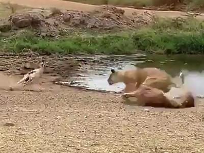 羚羊見獅撲來 「花式拐彎」保命