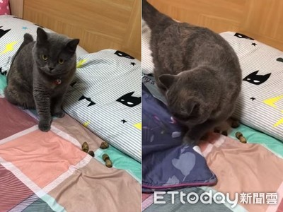 機歪貓「大在枕邊」還用棉被蓋屎