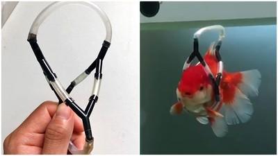 游泳歪一邊!金魚罹患魚鰾病 韓男親製「漂浮輪椅」救活瀕死魚