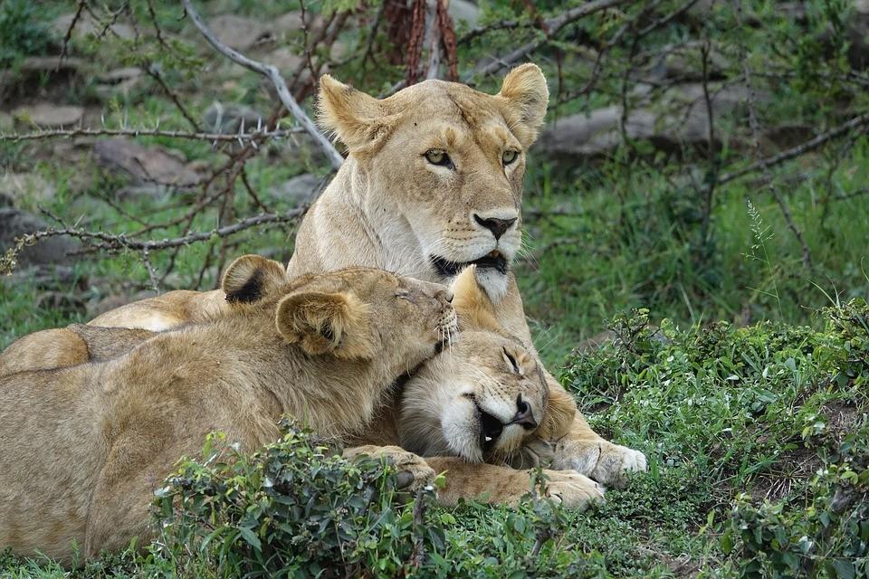 ▲獅子,萬獸之王,貓咪。(圖/取自免費圖庫Pixabay)