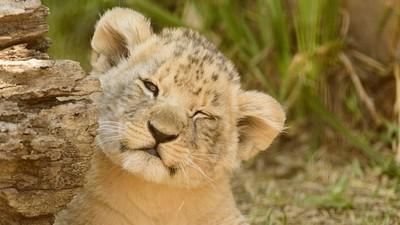 獅王戰敗「全家被殺光光」!獅子王故事是真的 幼獅從小就要訓練打鬥