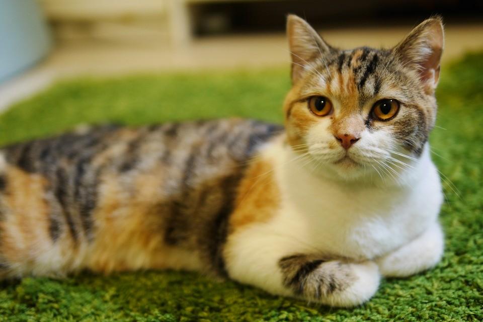 ▲▼三色貓。(示意圖/取自免費圖庫Pixabay)