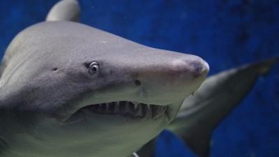 都不用刷牙!鯊魚內建超純牙膏「免疫蛀牙」 斷了還能換牙三萬次
