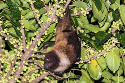 台灣狐蝠「新樂園」龜山島觀察到小狐蝠