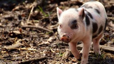 重病小豬「變社區萌寵」 全鎮天天輪流餵食…康復還爆肥300公斤