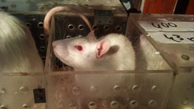 人鼠胚胎實驗通過!「人獸嵌合體」製造器官 倫理問題爆爭議