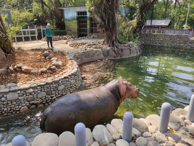 竹市動物園掀「河馬便便」蒐集熱