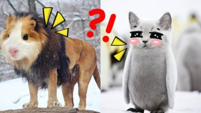 天竺鼠+獅子=?挪威工程師P出獵奇新品種 號召千萬網友來命名