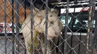 餓到剩骨皮的400隻大貓! 救援組織《BJWT》揭馬戲團如何販賣死亡