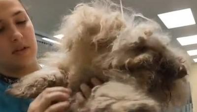 獸醫巧手開挖鋼絲毛 底下竟藏小清新