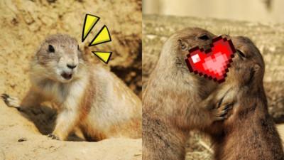一見面就交換口水!土撥鼠界的法式熱吻:放閃始祖是你!