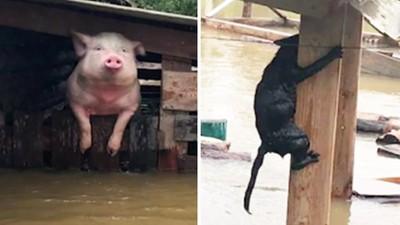 另組救援隊「專救寵物」!洪水淹沒俄農村 消防隊折返救貓豬狗