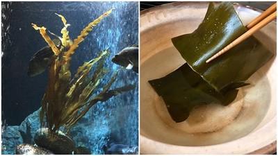 「昆布在海裡為何不會泡出高湯?」水族館奇葩問題 答案逗樂網友