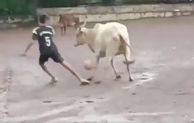足球滾到牛腳下 牠竟開啟防守模式
