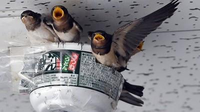 捨不得燕子築巢失敗!暖心店家「幫黏泡麵碗」安家 幾天後雛鳥孵化了