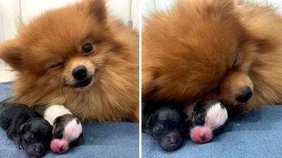第一次當媽!博美「對鏡頭眨眼甜笑」:我的孩子可愛吧!
