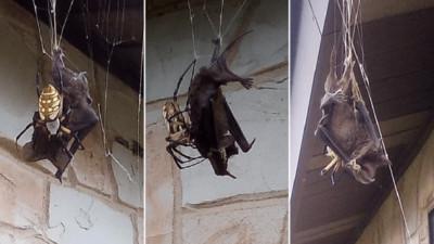 超強蜘蛛網抓到好大一隻 屋主驚呆