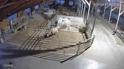 亞裔潛農場偷殺小牛 網友揚言肉搜餐廳