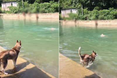 二哈跳水救主人 驚覺太冷又上岸