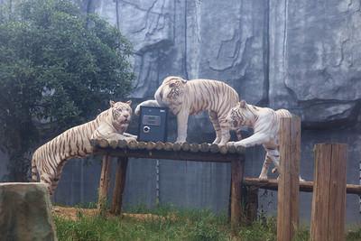 動物園推「猛獸保管結婚證」