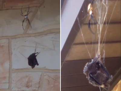 金黃園蛛吞食大蝙蝠 驚悚畫面曝