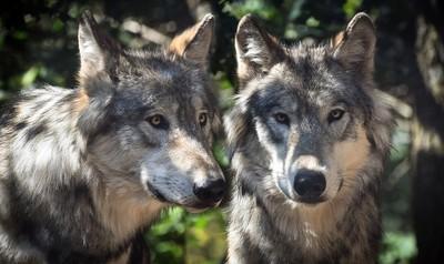 加州森林傳叫聲! 3隻灰狼寶寶緊跟爸媽