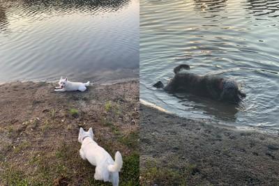 3愛犬下水消暑 上岸15分鐘陸續毒發身亡