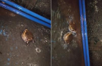 屁孩蛙打架!水球式攻擊像玩相撲