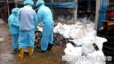 台灣首例!高雄旗山鴨場驗出H5N5禽流感