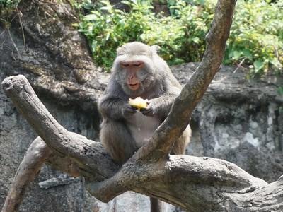 動物也要吃冰消暑!獼猴位階高先吃