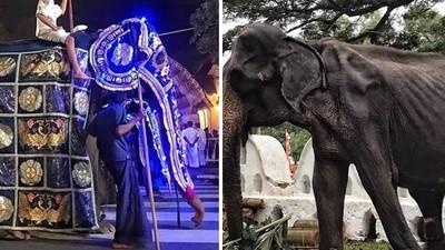 瘦到骨頭「根根分明」!拉掉慶典大象華麗衣袍 動保人士嚇壞了