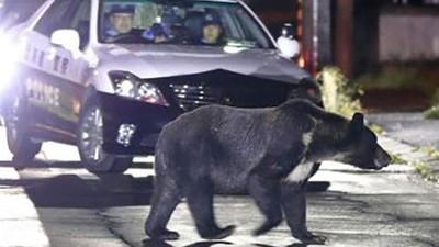 牠只是太餓了!住宅區連署抱怨「棕熊不該出現在我家」日政府動員獵人射殺